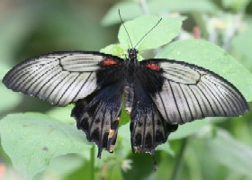Great Yellow Mormon butterfly female