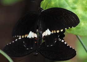 Common Mormon rare female form and male