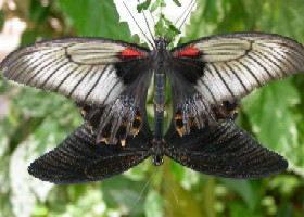 Great Yellow Mormon butterflies coupled