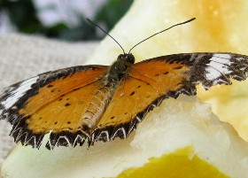 Orange Lacewing butterfly