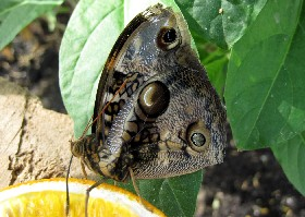 Narrow-banded Owlet butterfly