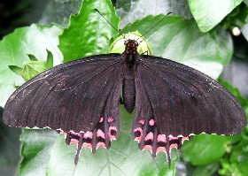 Pale-spotted Swallowtail butterfly