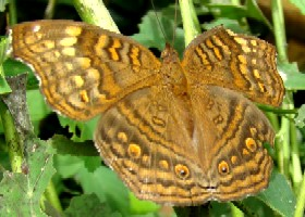 Golden Pansy butterfly