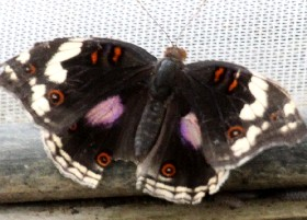 Dark Blue Pansy butterfly female