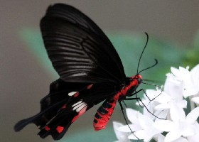Common Rose Swallowtail butterfly