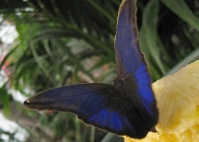 Purple Mort Bleu butterfly