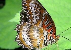 Red Lacewing female