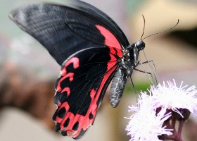 Scarlet Mormon butterfly side