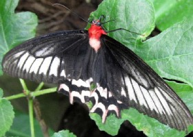 Semperi Swallowtail Butterfly - Batwing