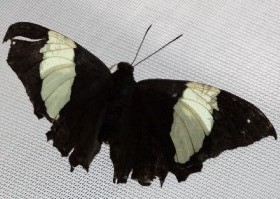 Silver-studded Leafwing butterfly