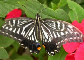 Chinese Yellow Swallowtail