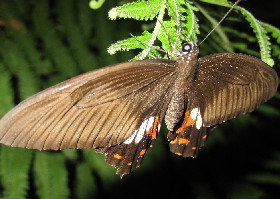 Common Mormon female brown