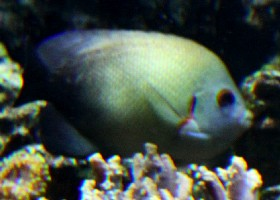 Pearl-scaled angelfish