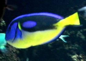 Yellow-bellied Regal Tang