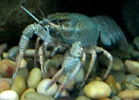 Narrow-clawed Crayfish