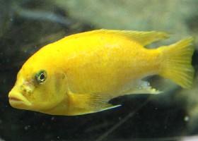 Yellow Cichlid Yellow Cichlid