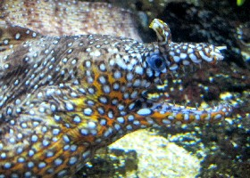 Leopard/Dragon Moray Eel