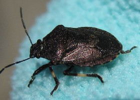 black Heather Shieldbug