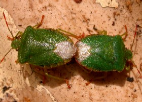 Green shieldbugs coupled