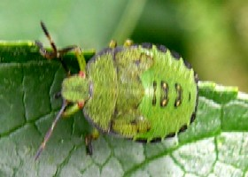 Green Shieldbug Nymph 5th instar