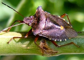 Red-legged forest bug
