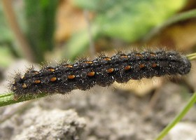 Scarce Footman Caterpillar