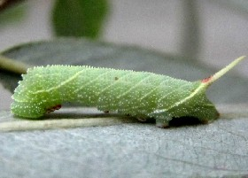 Poplar Hawk-moth Caterpillar