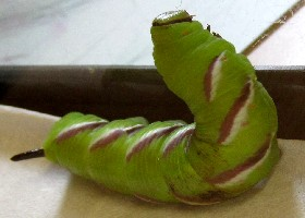 Privet Hawk-moth Caterpillar