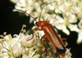 Black-tipped soldier beetle