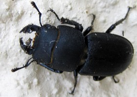 Lesser stag beetle male