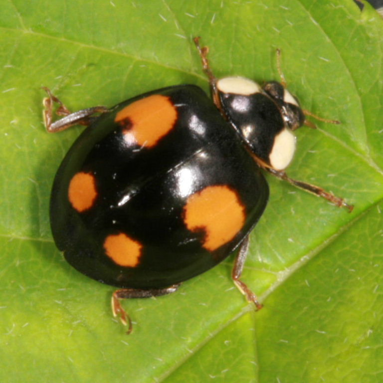Your asian lady beetle facts was good got