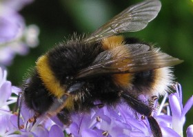 Buff-tailed bumblebee worker