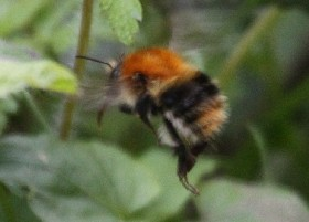 Carder-type bee