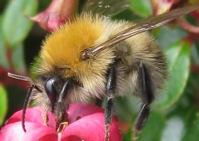 Commmon Carder bumblebee male