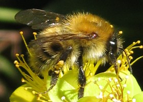 Commmon Carder bumblebee worker