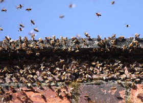 Feral Chimney Bees