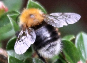 Tree bumblebee worker