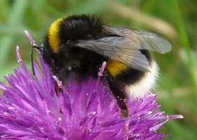 White-tailed bumblebee queen