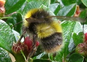 Early bumblebee worker