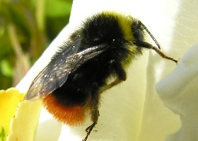 Red-tailed bumblebee male