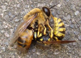Wasp eats honey bee