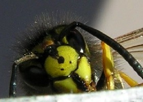 German wasp face
