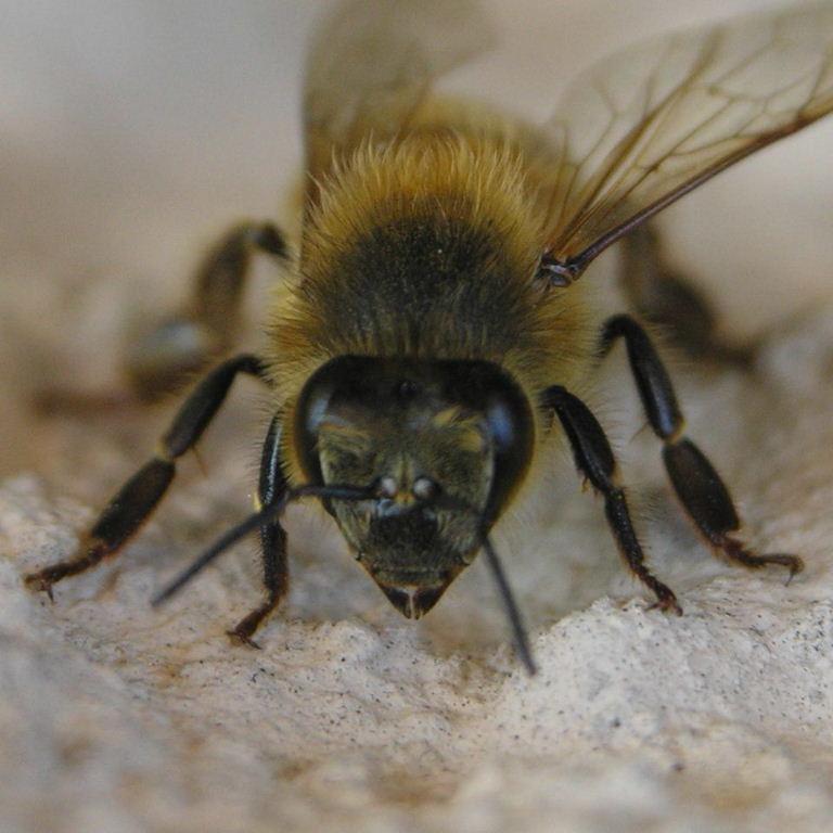 Italian Honey Bee Italian Honey Bee