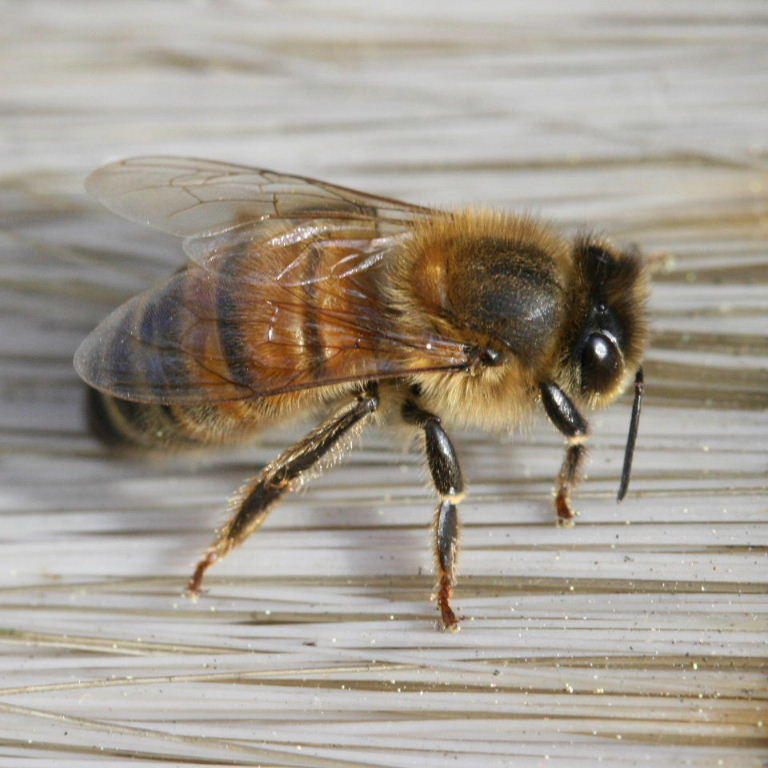 Italian Honey Bee Italian Honey Bee