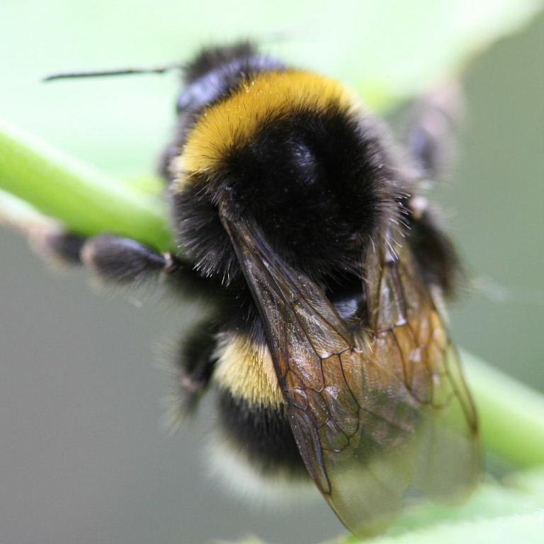 Queen bumble bees