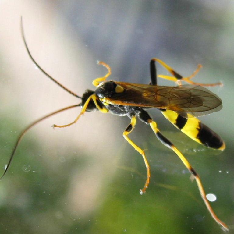 Amblyteles Ichneumon Wasp Black Ichneumon Wasp