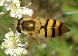 Epistrophe diaphana hoverfly