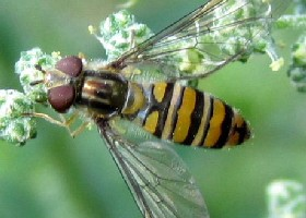 Marmalade hoverfly female