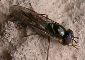 Platycheirus sp? - Applauding