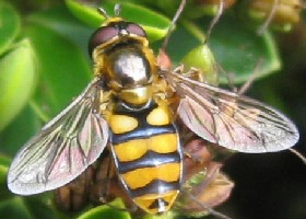 Syrphus species hoverflies